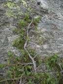 Juniper communis subsp. nana