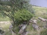 Juniper communis subsp. nana_B