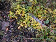 Salixe herbacea